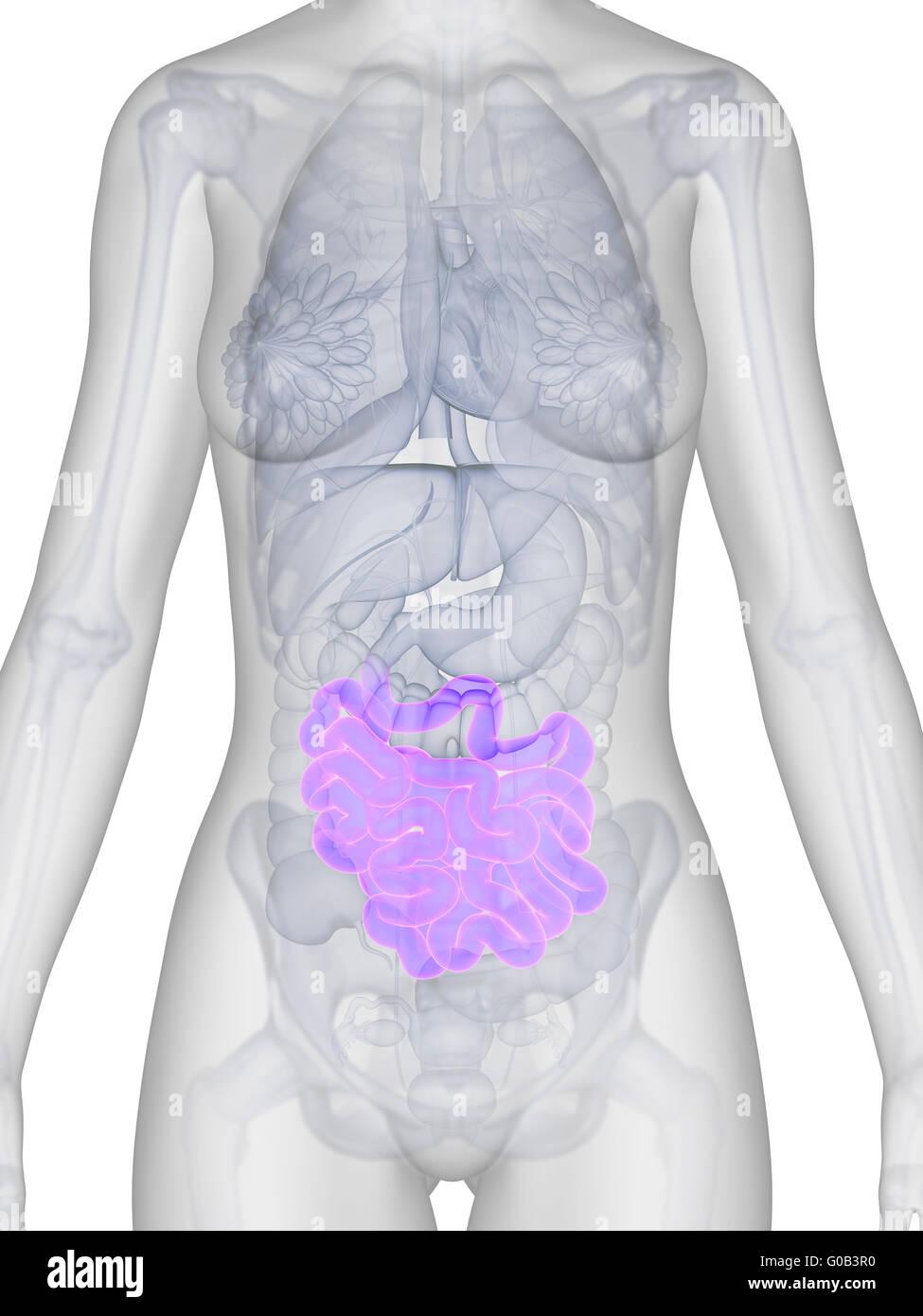 3D gerenderte Darstellung der weiblichen Anatomie - Darm Stockfoto ...