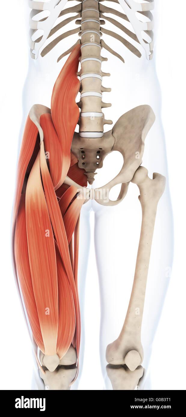 Fantastisch Medialer Oberschenkel Anatomie Fotos - Physiologie Von ...