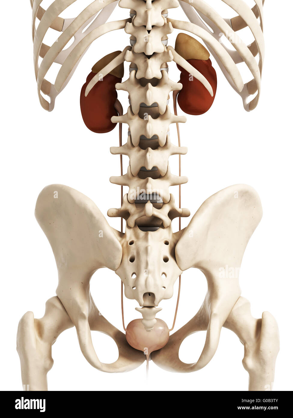Urinary System Stockfotos & Urinary System Bilder - Alamy