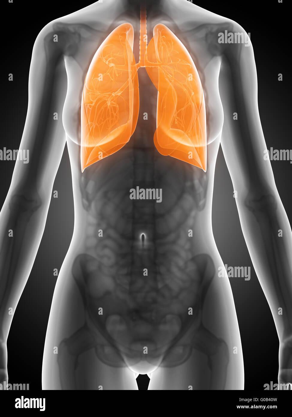 3D gerenderte Darstellung der weiblichen Anatomie - Lunge Stockfoto ...