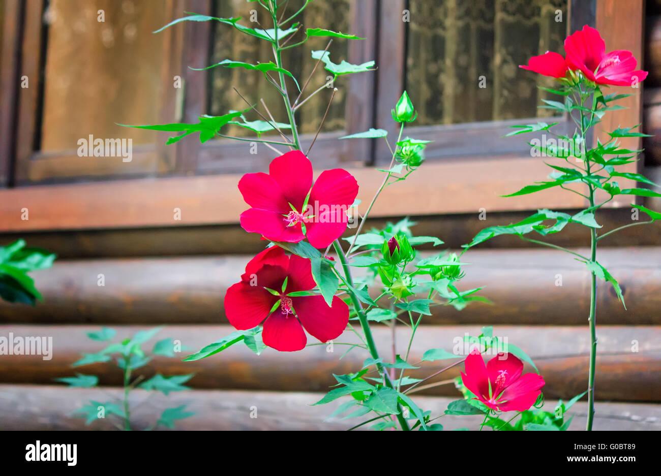 Rote Blumen Im Vorgarten In Der Nahe Des Hauses Stockfoto Bild