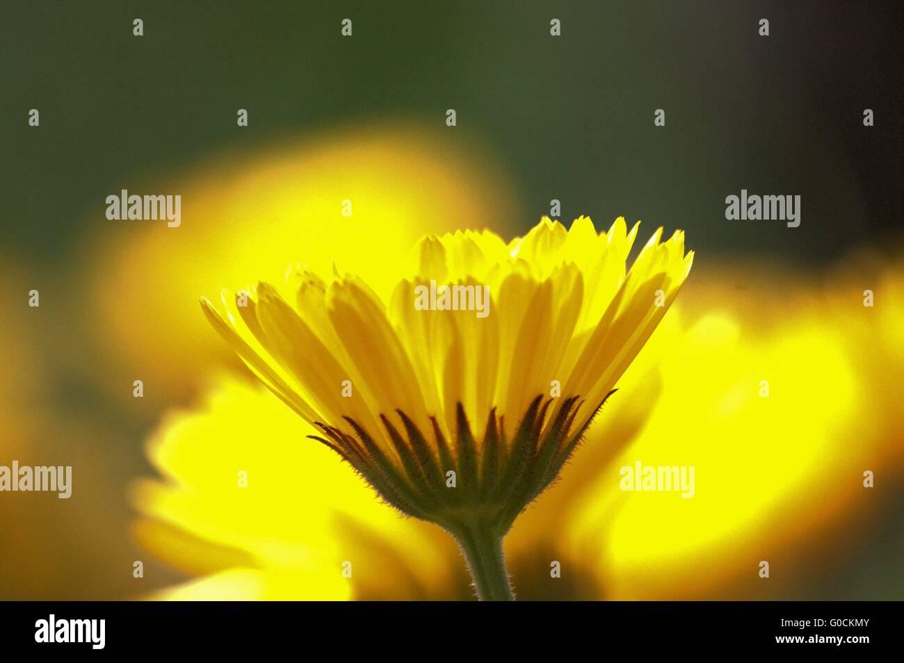 gelbe Blüte Stockbild