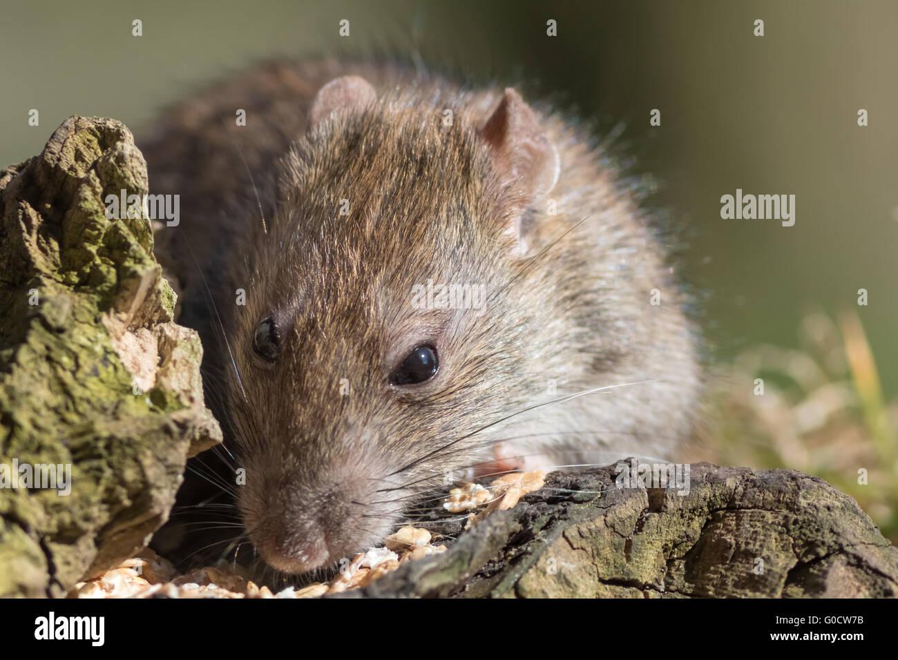 Ratte auf Nahrungssuche Stockbild