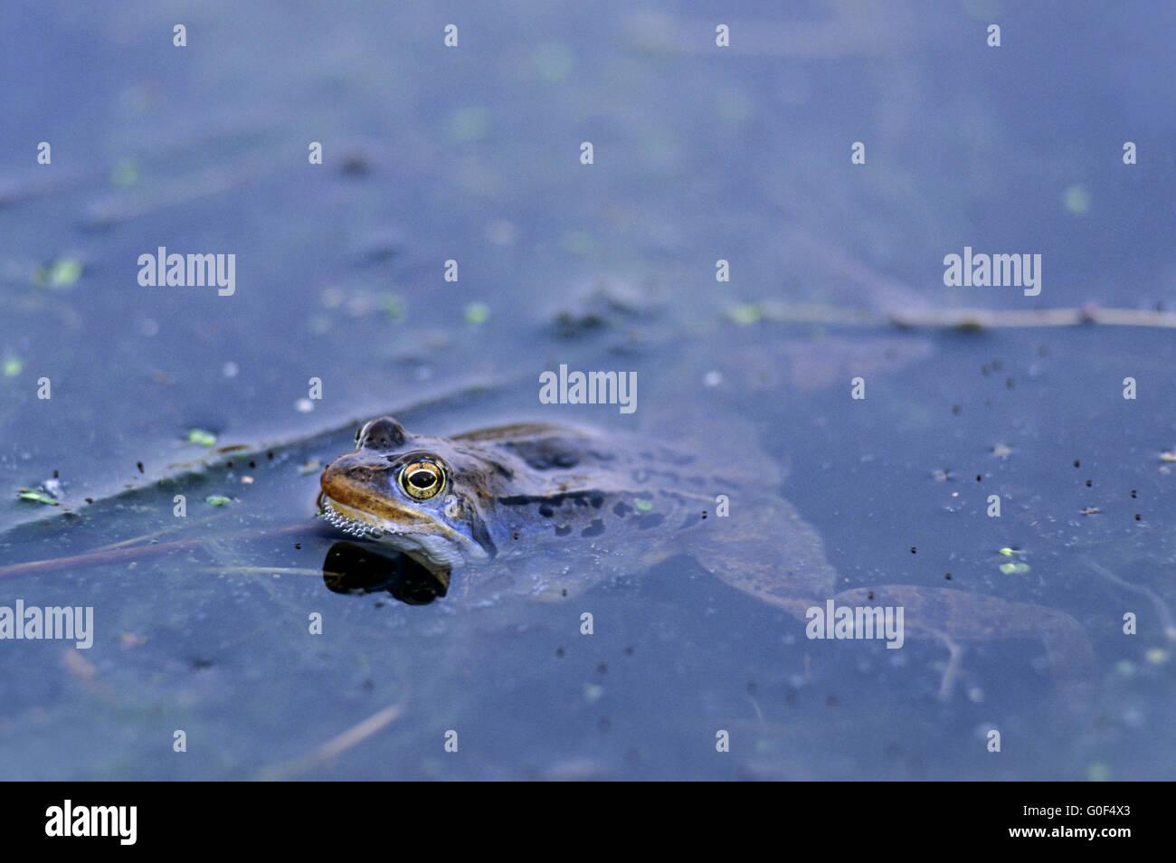 Moor-Frosch die Männchen entwickeln eine hell-blau-Färbung während ...