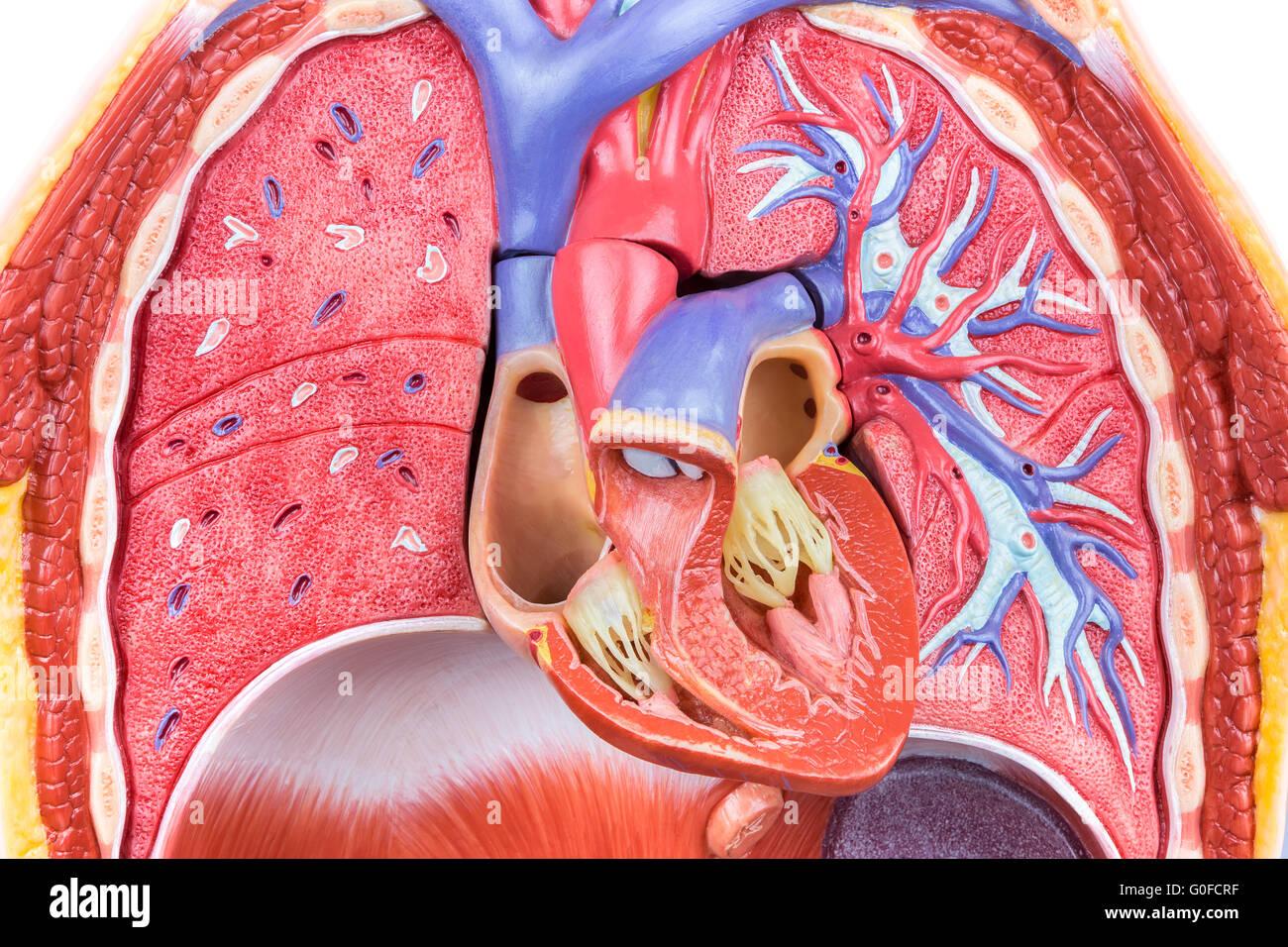 Modell menschlicher Körper mit Lunge und Herz Stockfoto, Bild ...