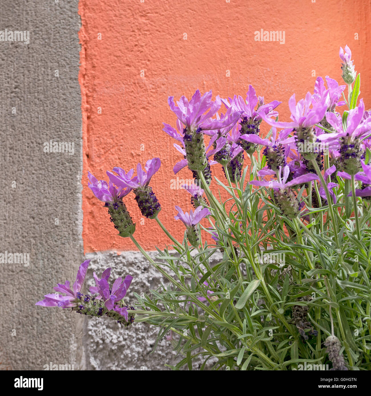 purple and orange planting stockfotos purple and orange planting bilder alamy. Black Bedroom Furniture Sets. Home Design Ideas
