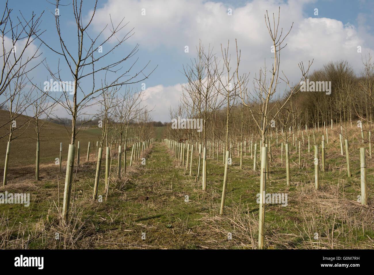 Junge nackte blattlose Laubbäumen mit Kunststoff Wachen im Wald Bauernhof-Plantage im Frühjahr, Berkshire, Stockbild