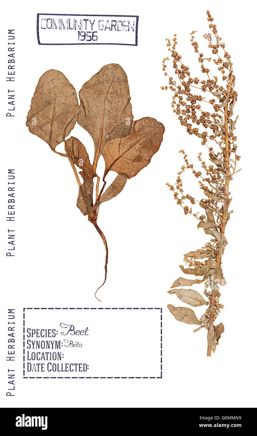 Herbarium Blätter herbarium pressteilen pflanze rüben stängel blätter wurzel
