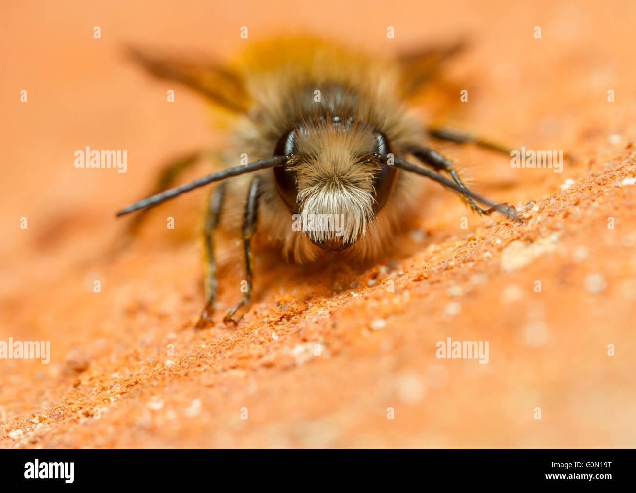 Rote Mauerbiene (Osmia Bicornis) auf eine Mauer Stockbild