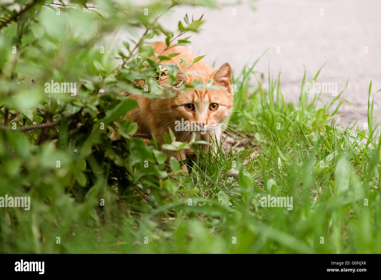 Porträt der ängstliche Katze Jagd im Rasen Stockfoto