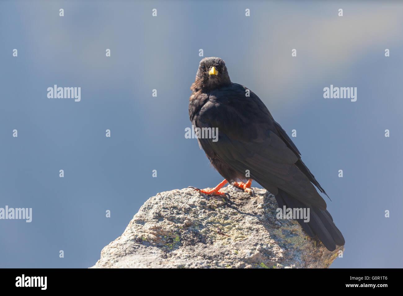 Nahaufnahme von einer alpinen Alpenkrähe Stand auf dem Felsen. Stockbild