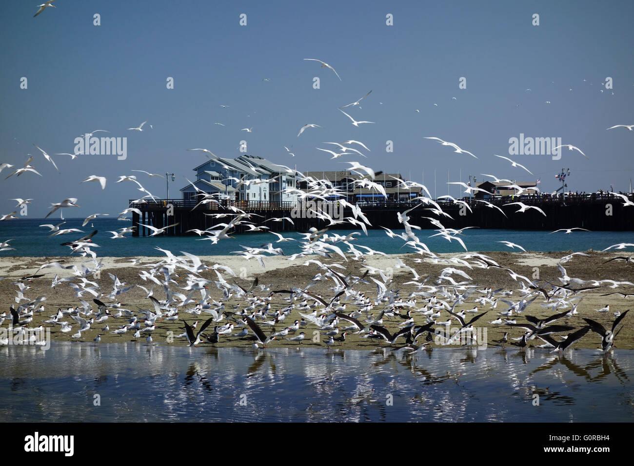 Seevögel und Möwen im Flug in der Nähe von Strand neben Stearns Wharf im südlichen Kalifornien Stockbild
