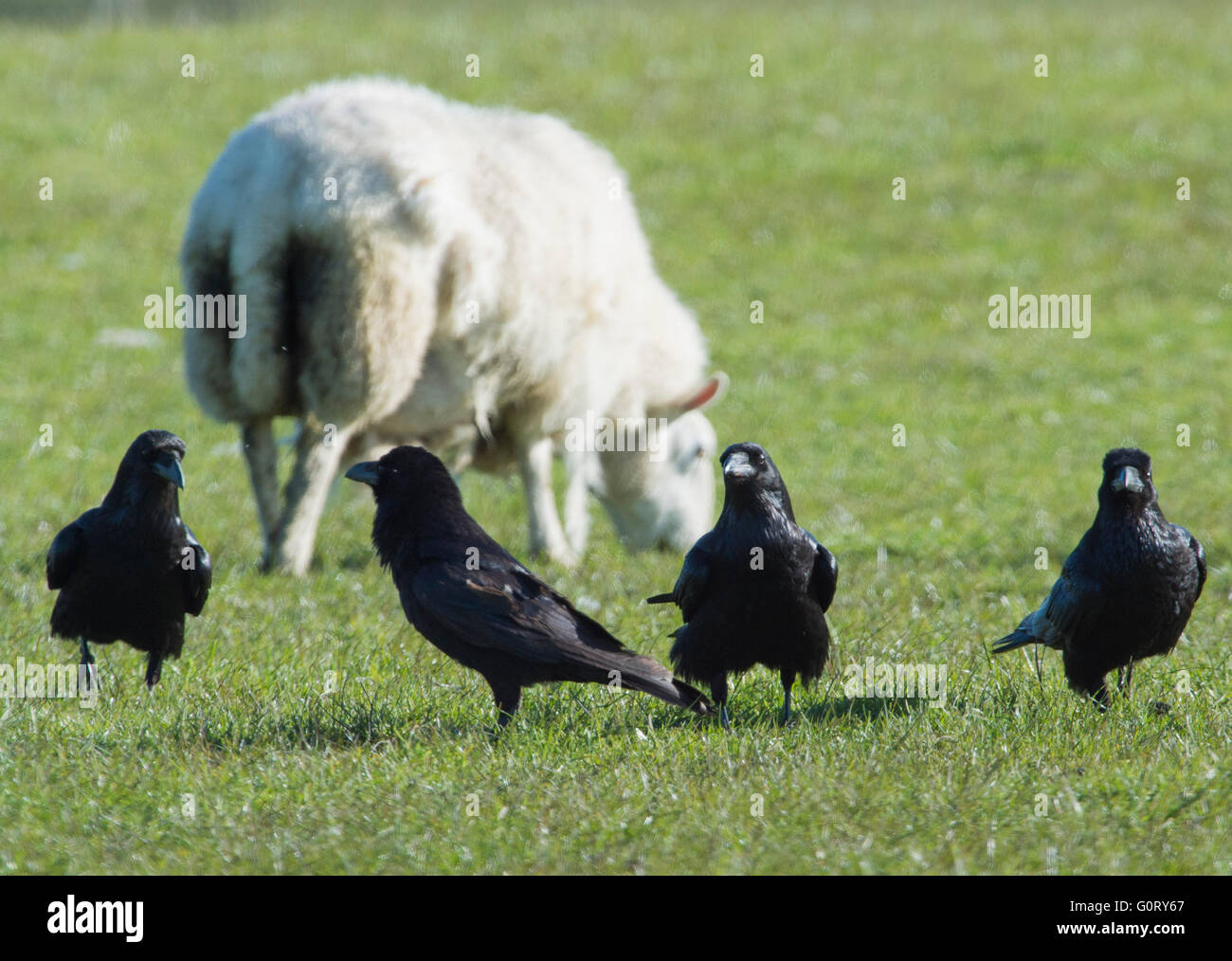 28.04.2016, Raben, Rabenvögel; in einem Lämmer Feld im Bereich Caithness, Schottland, Vereinigtes Königreich. Stockbild