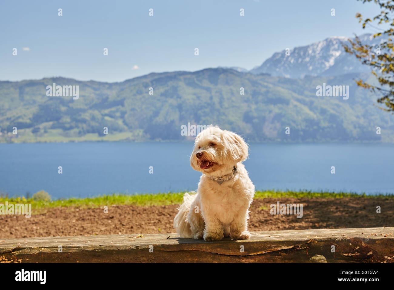 Havaneser Hund Am Attersee In Nussdorf Salzkammergut Osterreich Stockfotografie Alamy