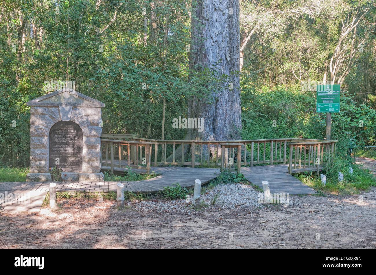 MILLWOOD, Südafrika - 4. März 2016: Ein Denkmal und 880 Jahre alten Baum im Knysna Wald gewidmet von Dalene Matthee Stockfoto