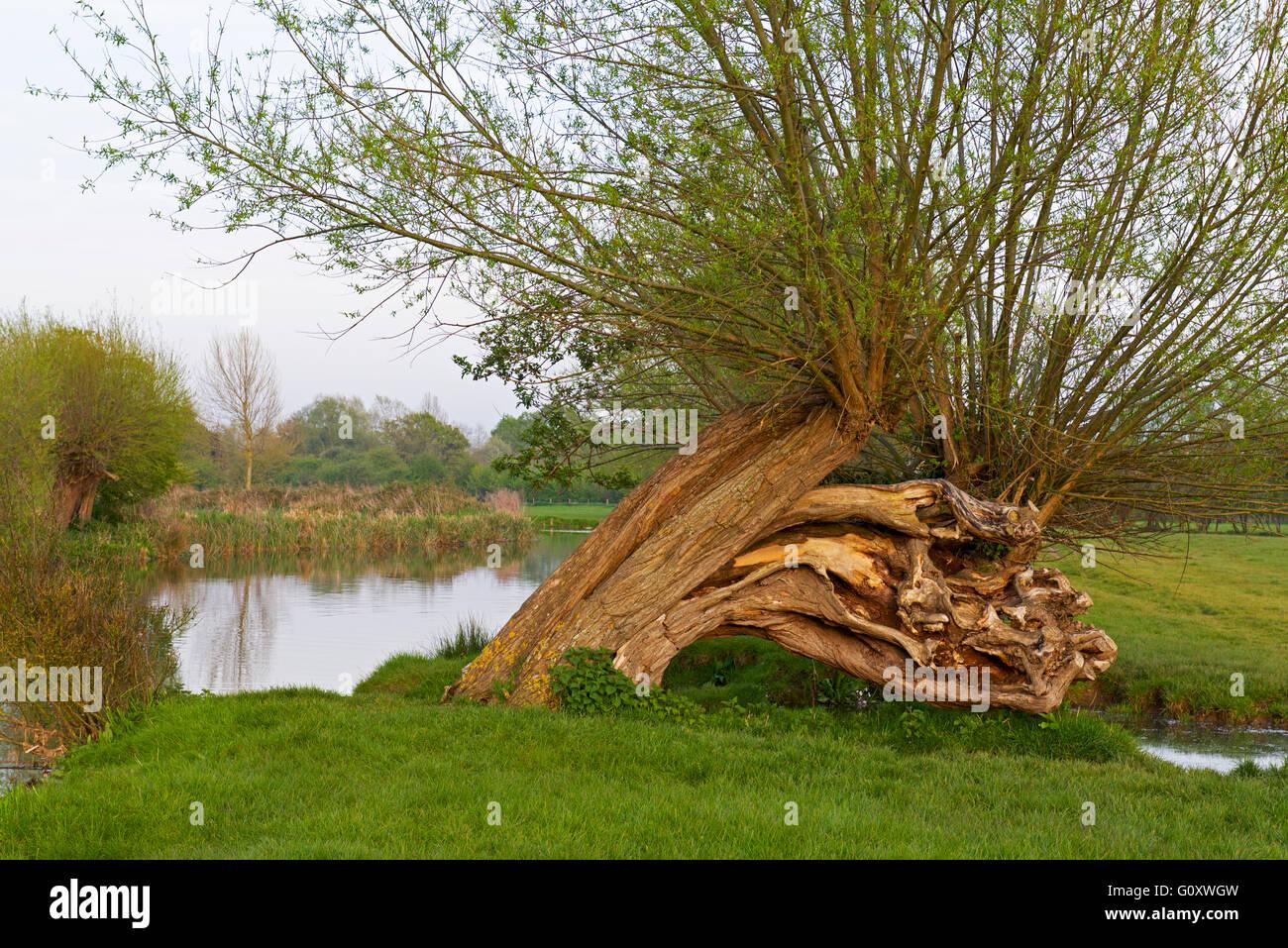 Beschnitten Weidenbaum Vom Fluss Stour Dedham Vale Essex England