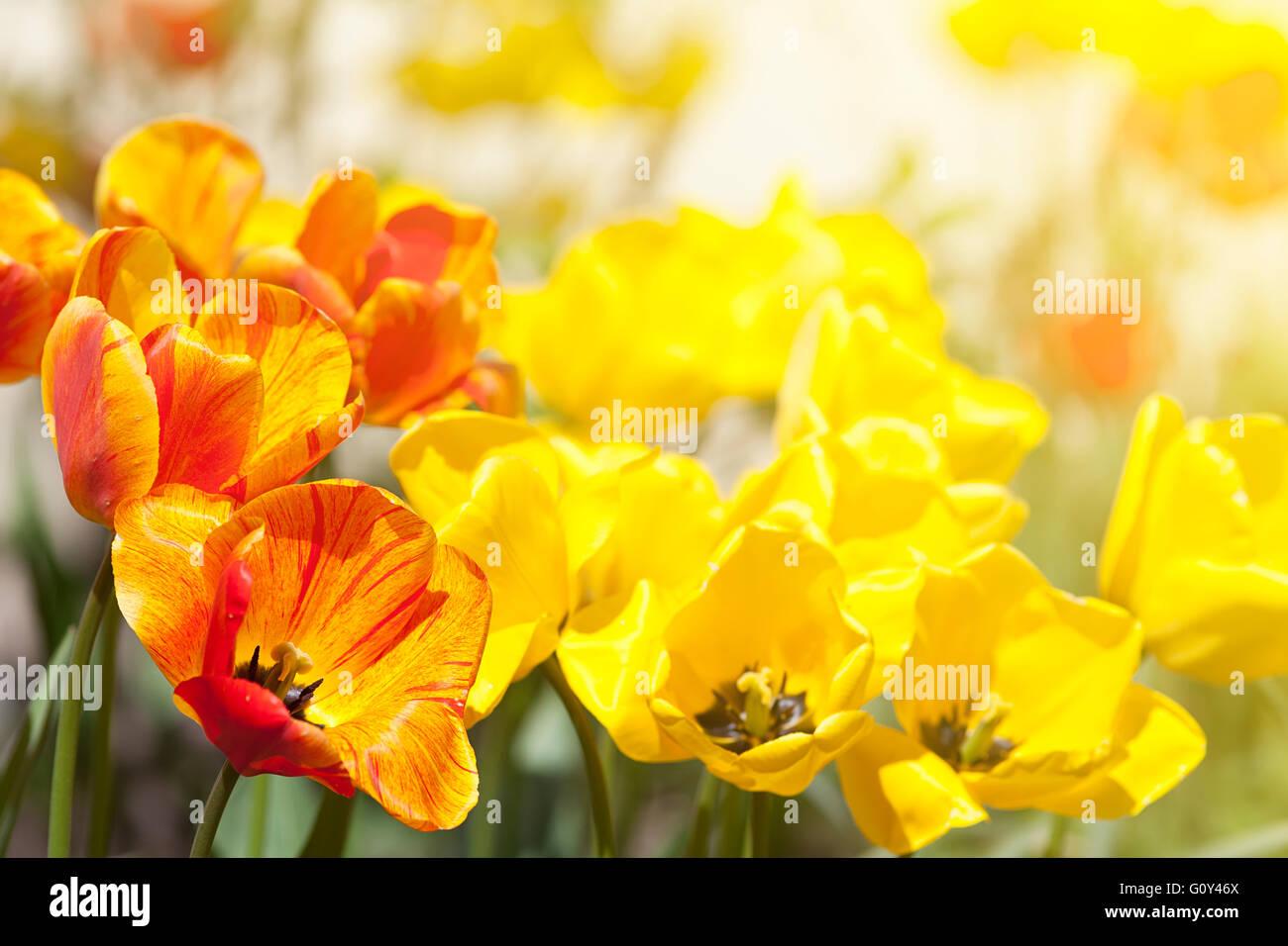 Tulpe Blumen im Garten mit hellen Farben in gelb und rot Stockfoto ...