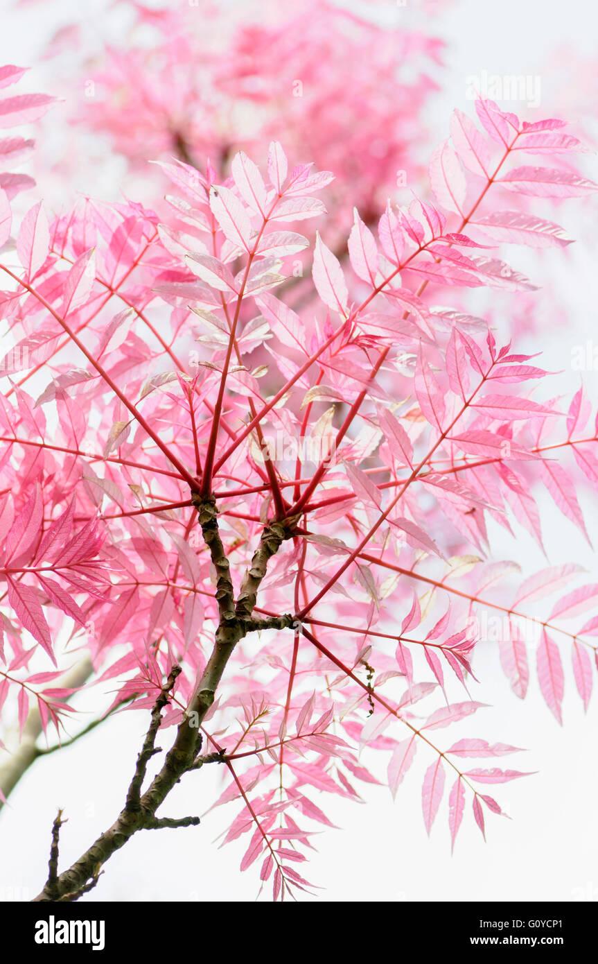 Chinesischen Toon, Toona, Toona Sinensis 'Flamingo', Schönheit in Natur, China indigenen, Farbe, kreativ, Stockbild