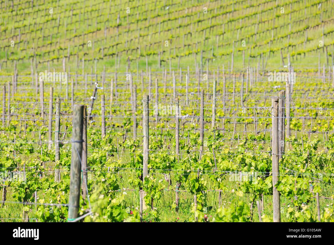 Weinanbau des, Brunello di Montalcino. Der, Brunello di Montalcino, ist Einer der, Bekanntesten, Rotweinprovenienzen, Stockbild