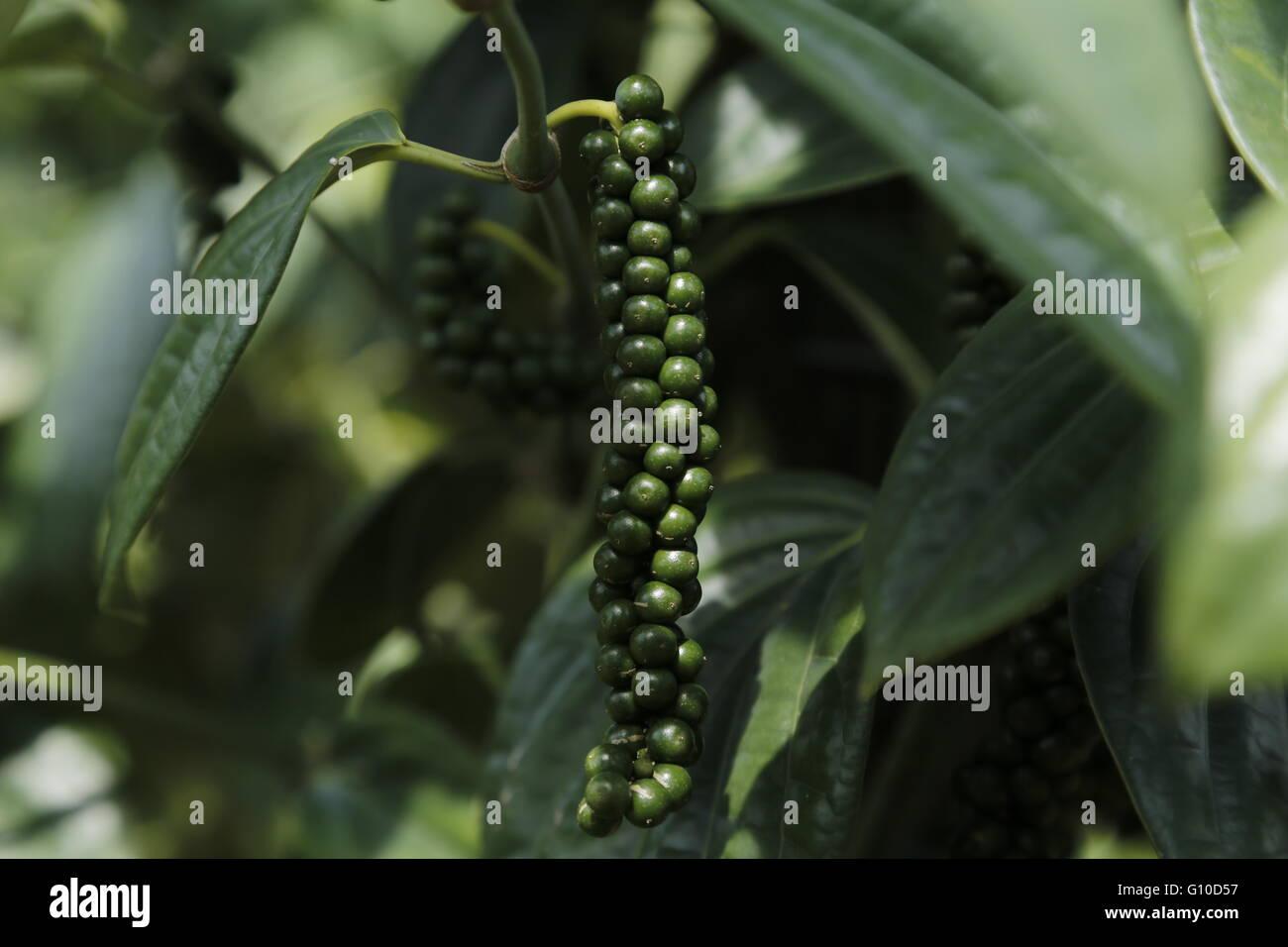 Nahaufnahme der live frische grüne Pfefferkörner (schwarzer Pfeffer) in Sarawak. Frischen Piper Nigrum Stockbild