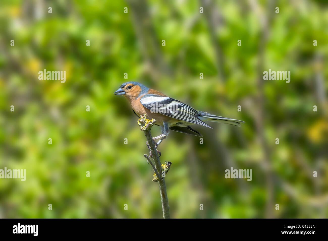 Männlichen Buchfinken thront auf einem Ast in den Bäumen Stockbild