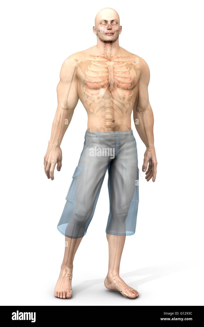 3D Visualisierung der menschlichen Anatomie. Die inneren Organe in ...