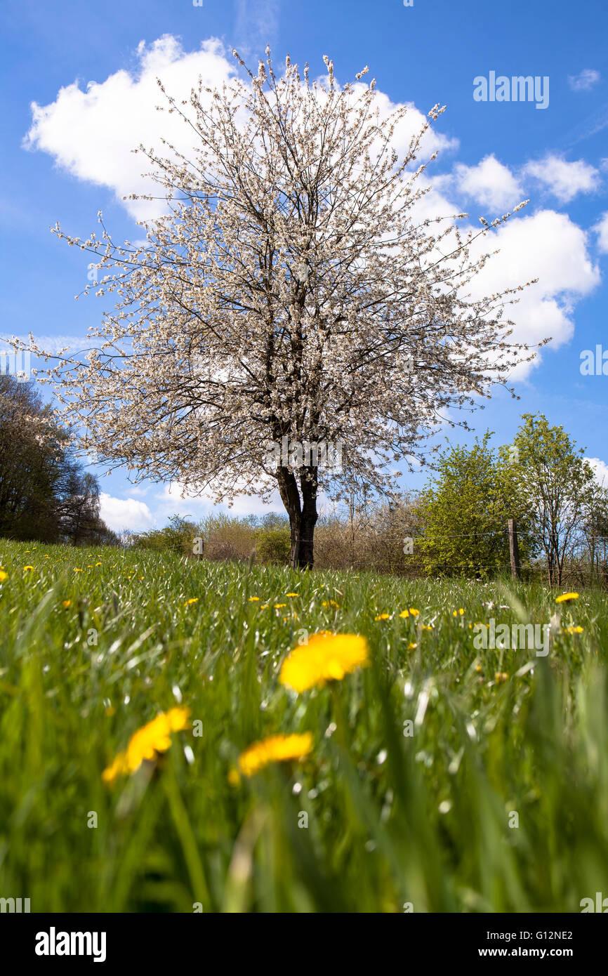 europa deutschland nordrhein westfalen bl henden obstbaum im naturschutzgebiet eichelnbleck. Black Bedroom Furniture Sets. Home Design Ideas