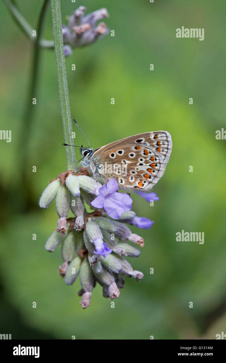 Gemeinsame blaue Schmetterling Polyommatus Icarus alleinstehende Erwachsene ernähren sich von Lavendel Blumen Stockbild