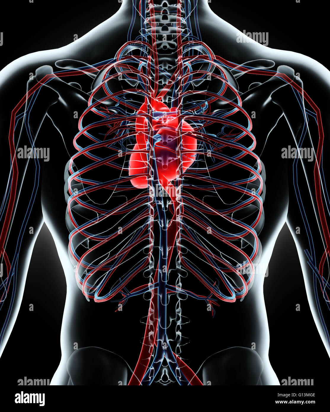 Fantastisch Herz Kreislauf System Organe Und Funktionen Ideen ...