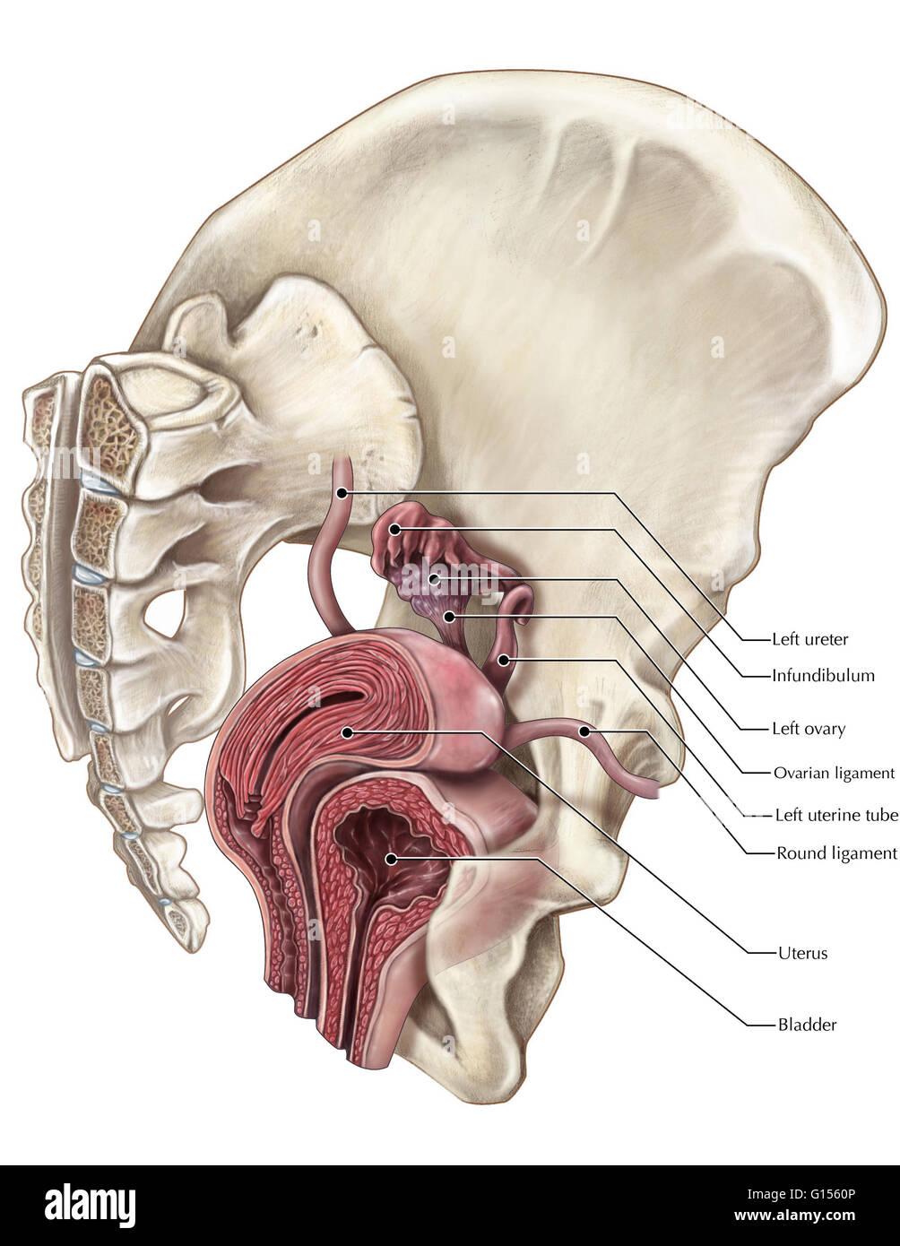 Ungewöhnlich Uterus Blase Anatomie Ideen - Menschliche Anatomie ...