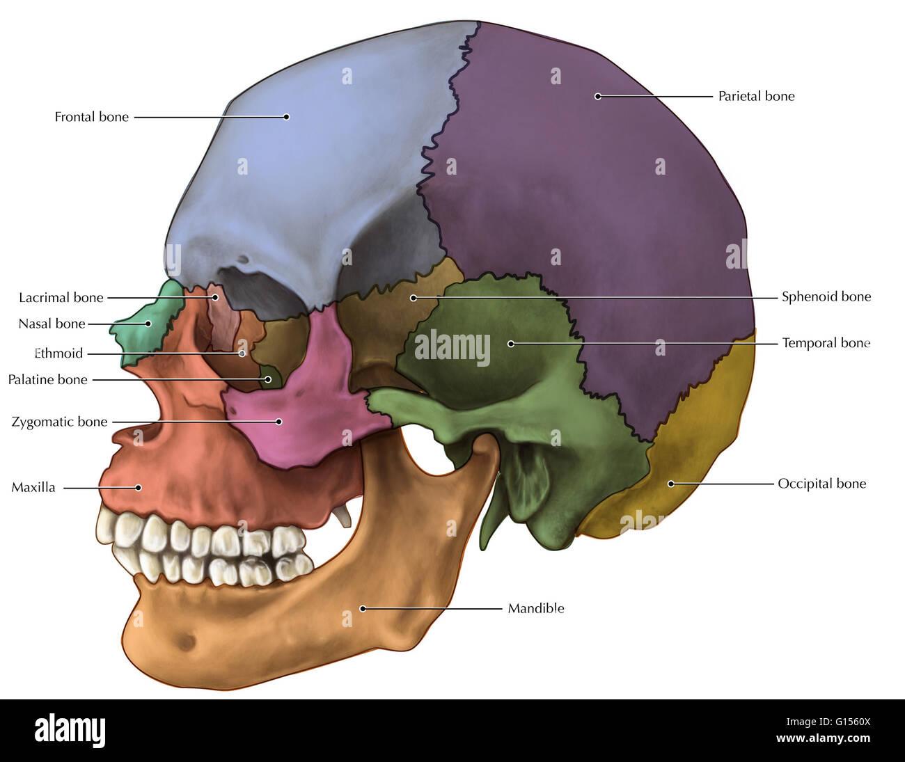 Lateral Skull Stockfotos & Lateral Skull Bilder - Seite 3 - Alamy