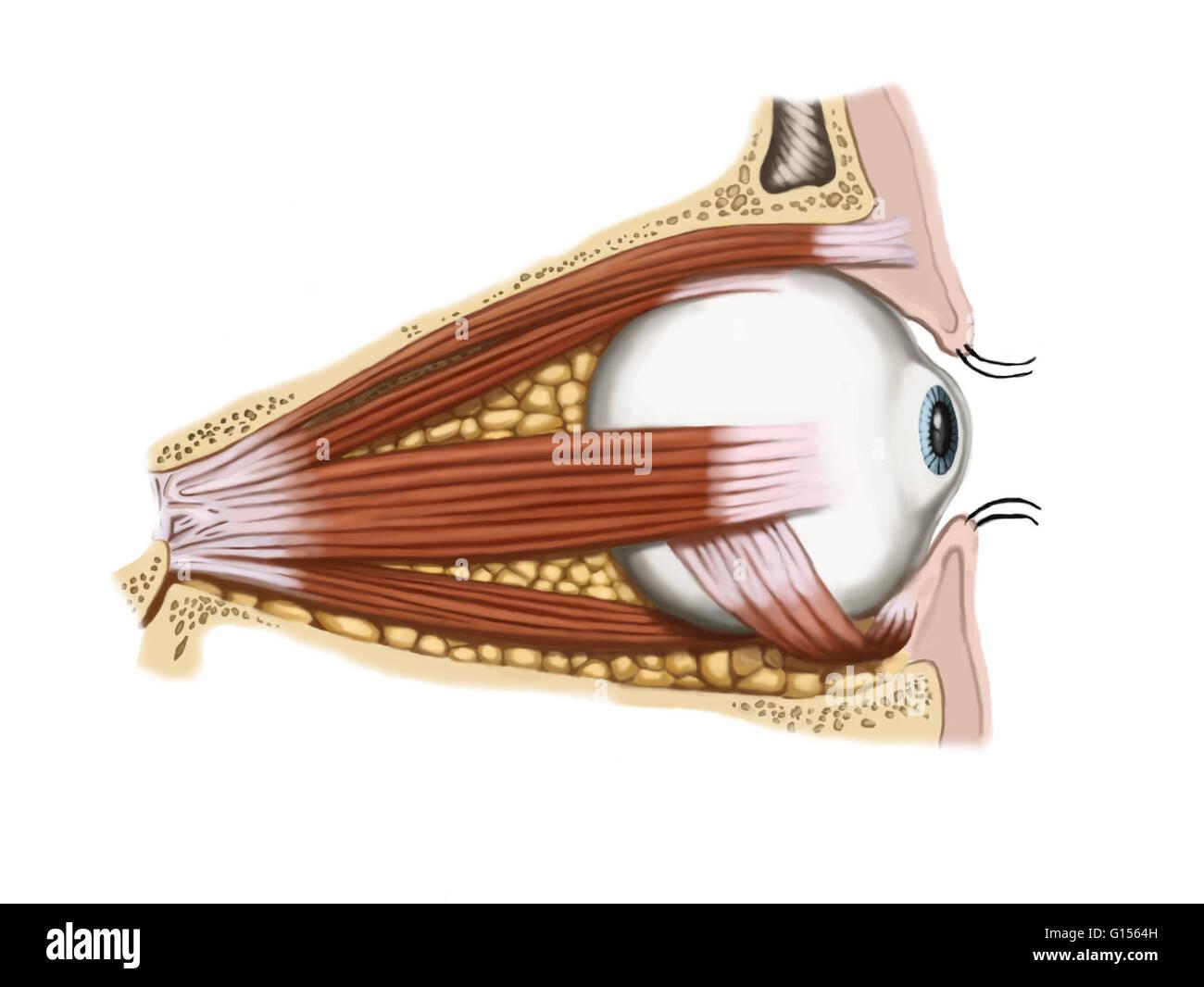 Eine seitliche Ansicht eines normalen Auges zeigt den ...