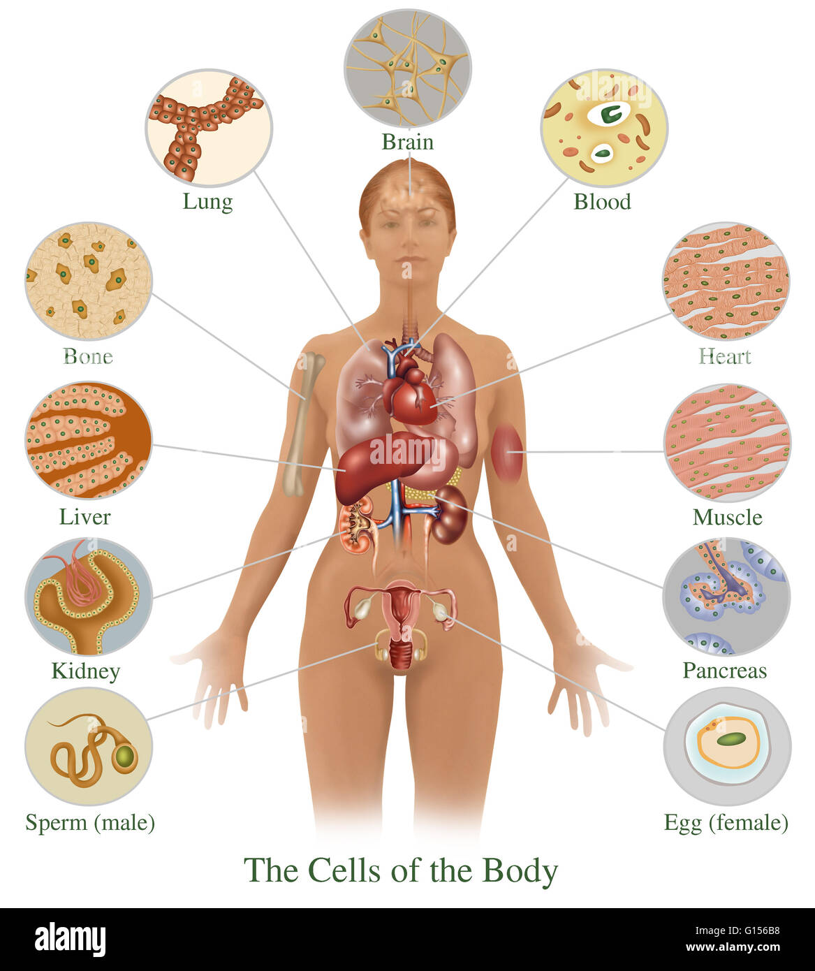 Ziemlich Leber Stelle In Körper Fotos - Menschliche Anatomie Bilder ...