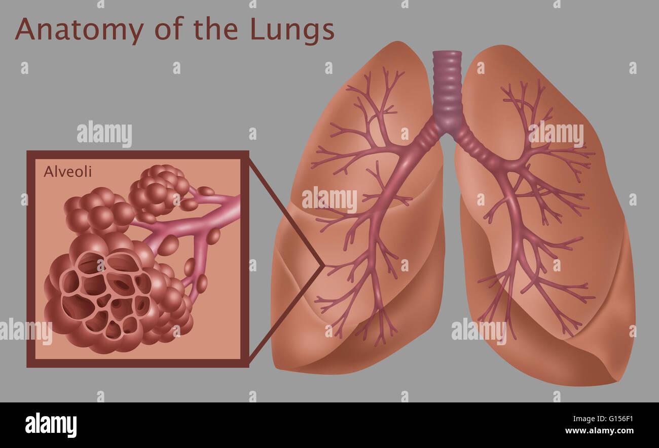 Abbildung der Anatomie der Lunge, mit einer Nahaufnahme von den ...