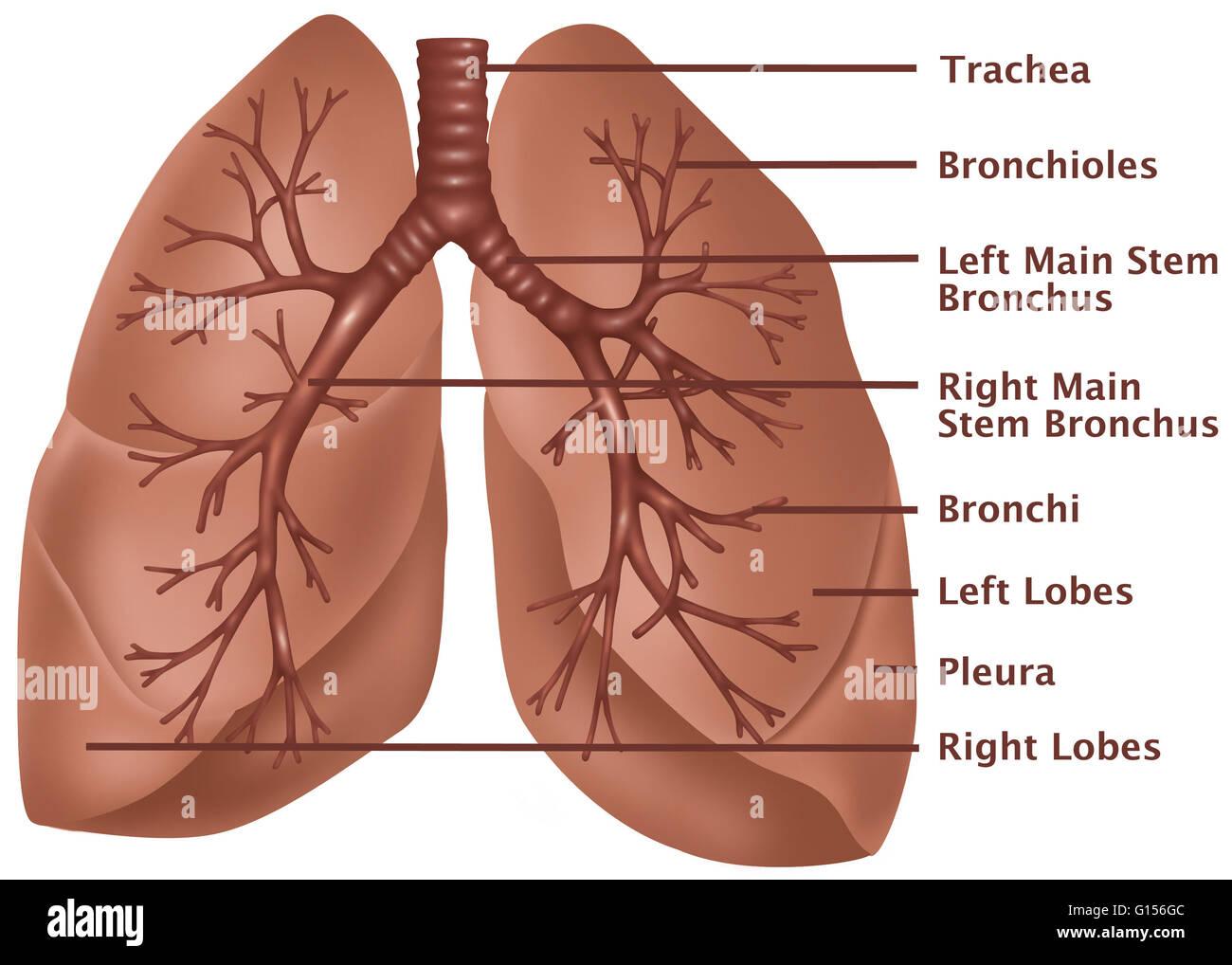Anatomische Abbildung der Lunge, mit (von oben nach unten) die ...