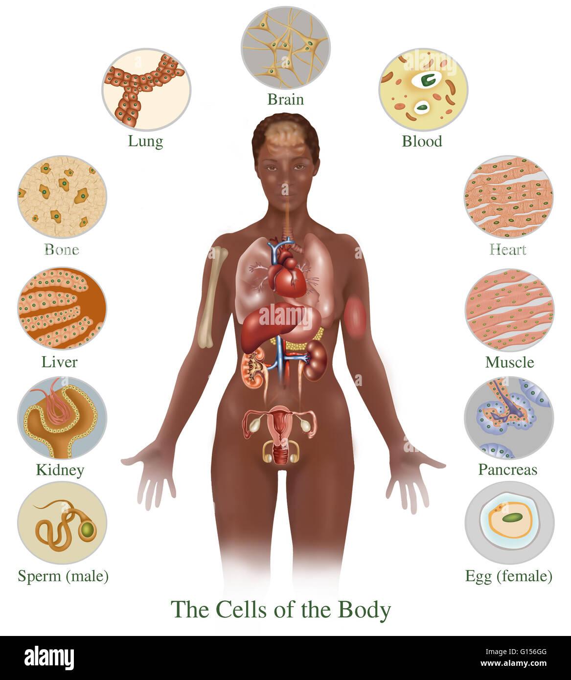 Abbildung detailliert die verschiedenen Zellen im menschlichen ...