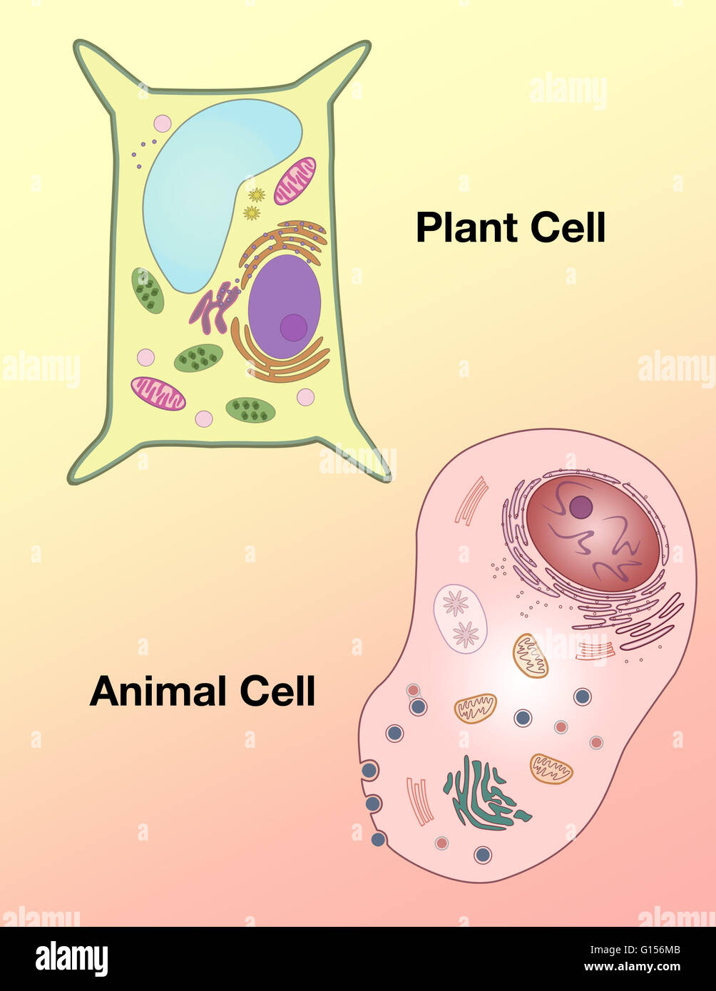 Animal Cell Drawing Stockfotos & Animal Cell Drawing Bilder - Alamy