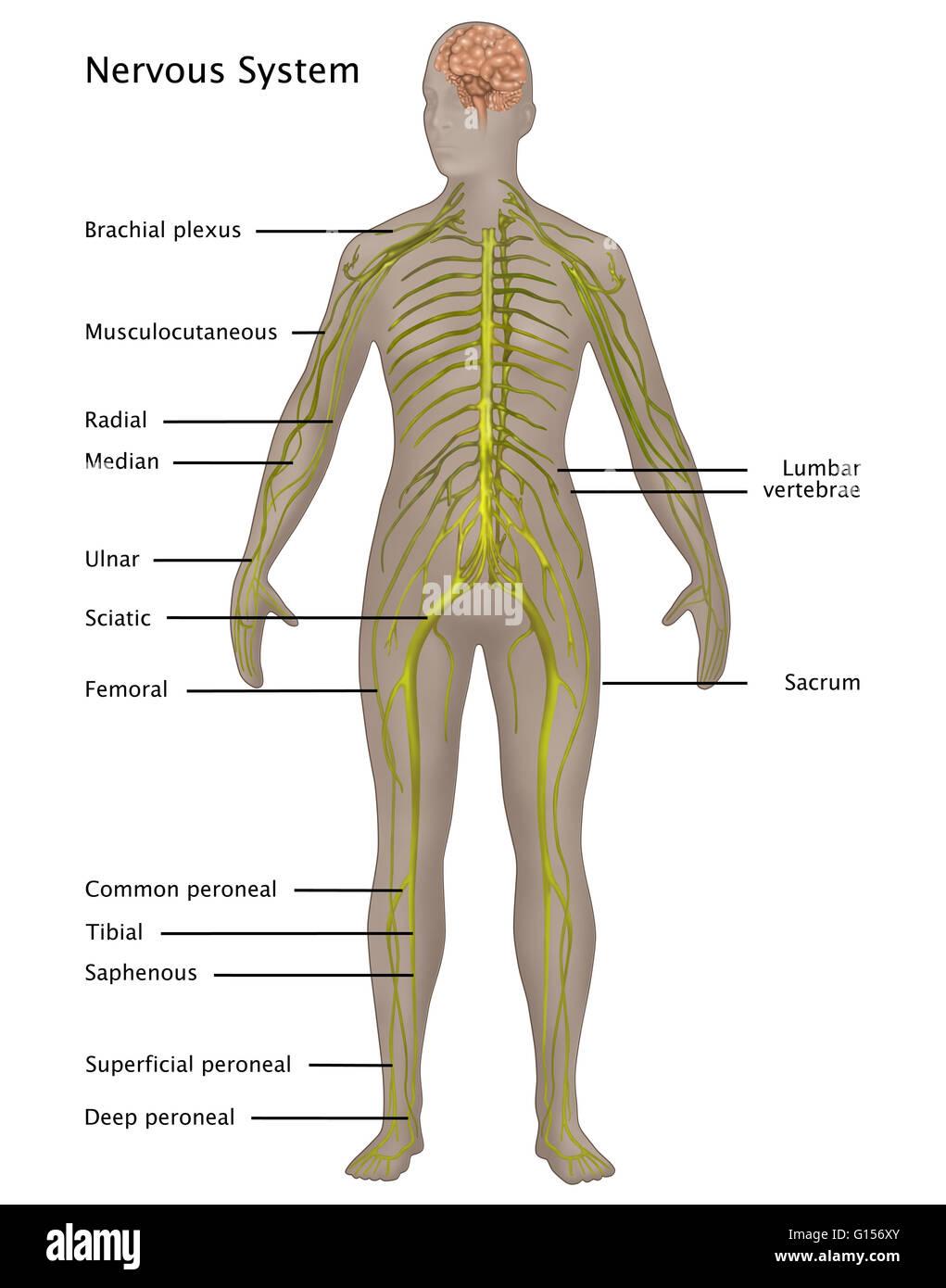 Abbildung des Nervensystems in der weiblichen Anatomie. Beschriftete ...