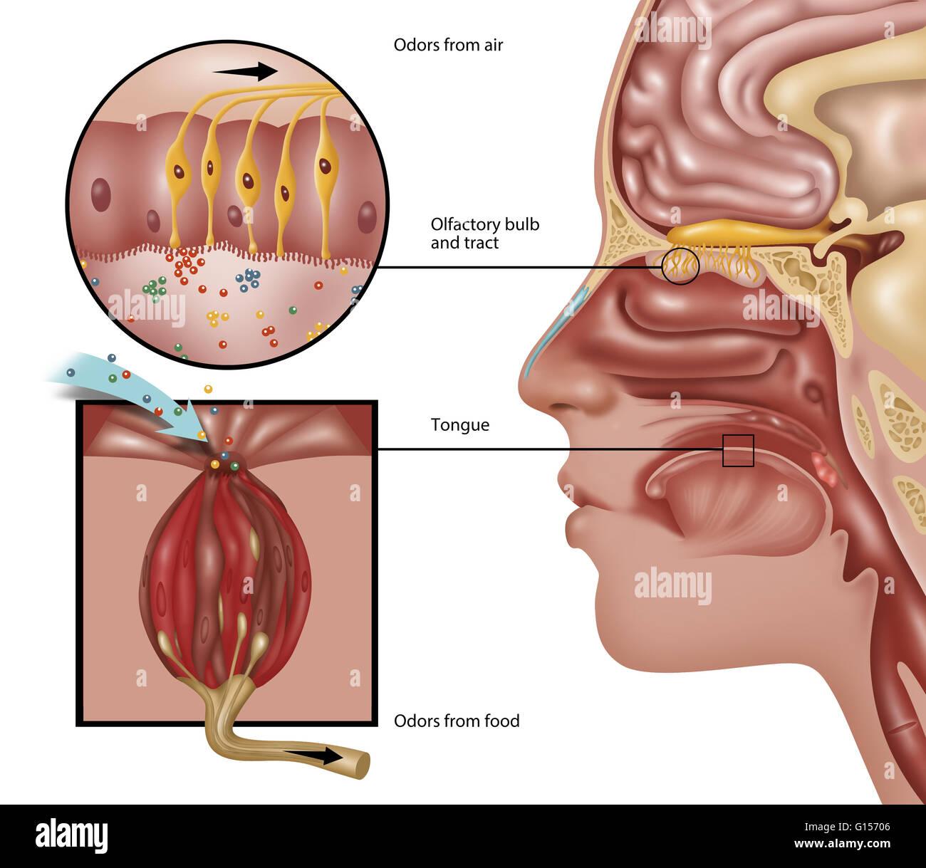 Abbildung der Anatomie der Geruch. Die Wahrnehmung der Geruch ...