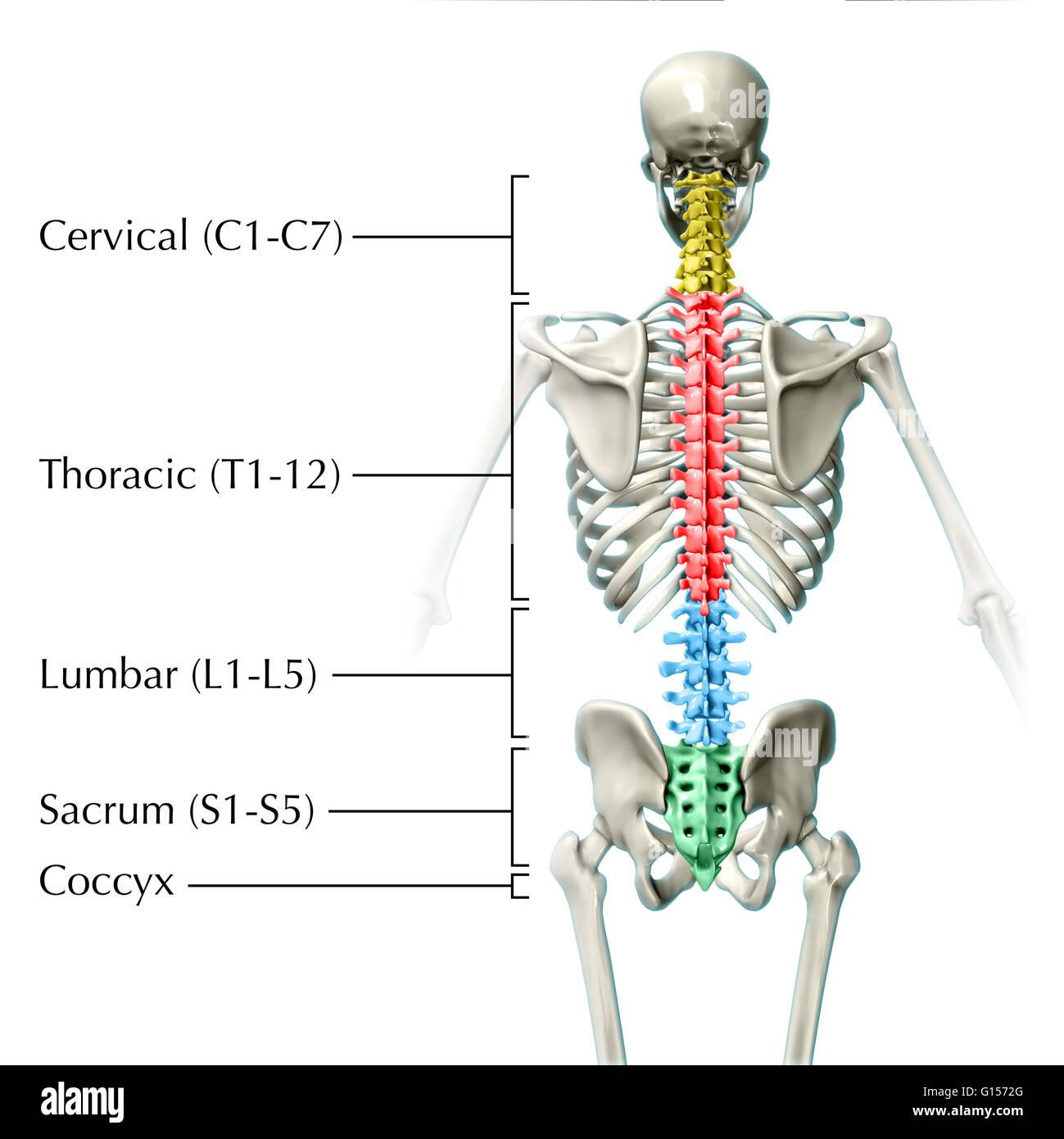 Ein 3D-Modell des menschlichen Skeletts mit verschiedenen Farben ...