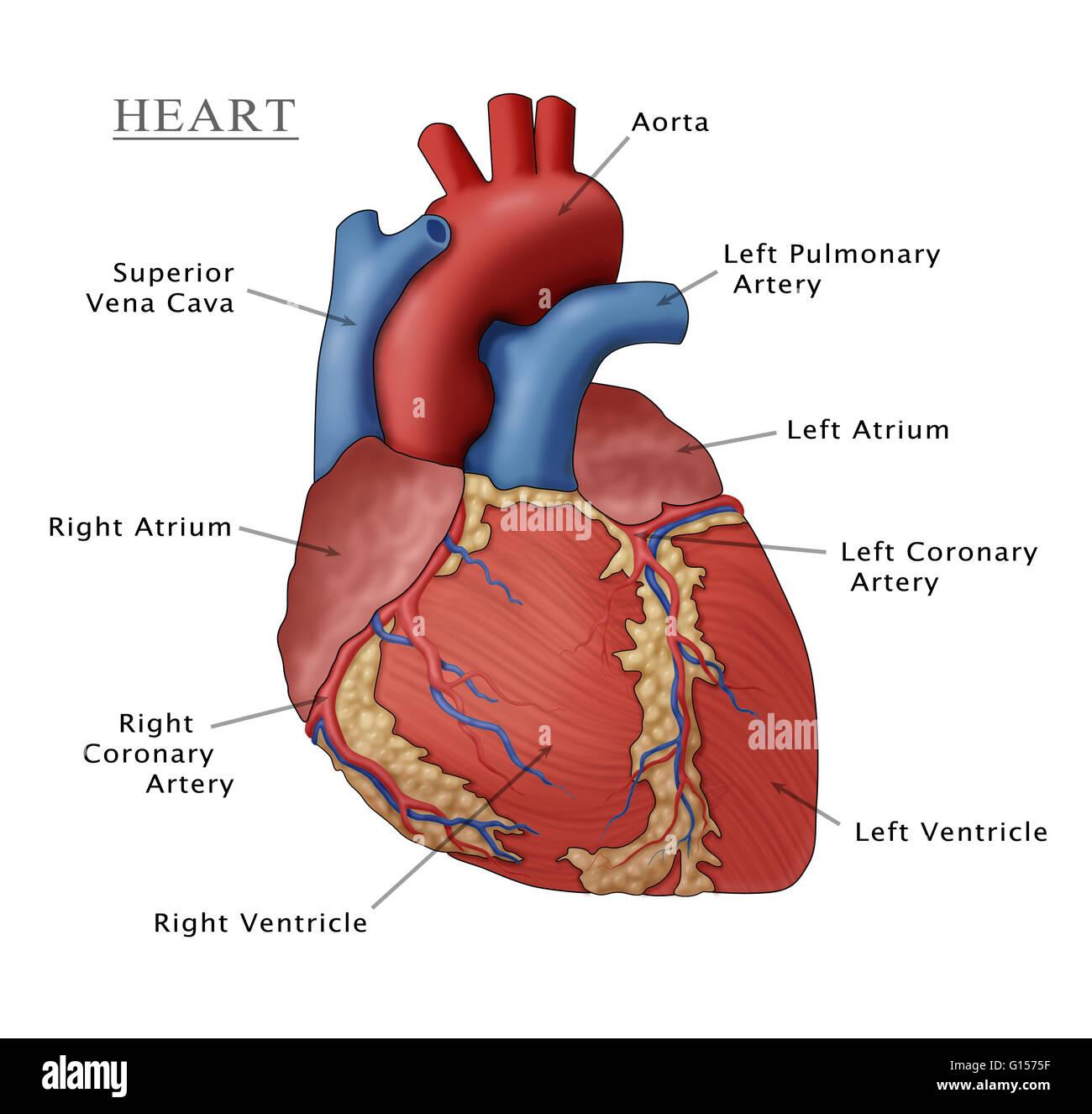 Erfreut Druckbare Bilder Des Menschlichen Herzens Ideen ...