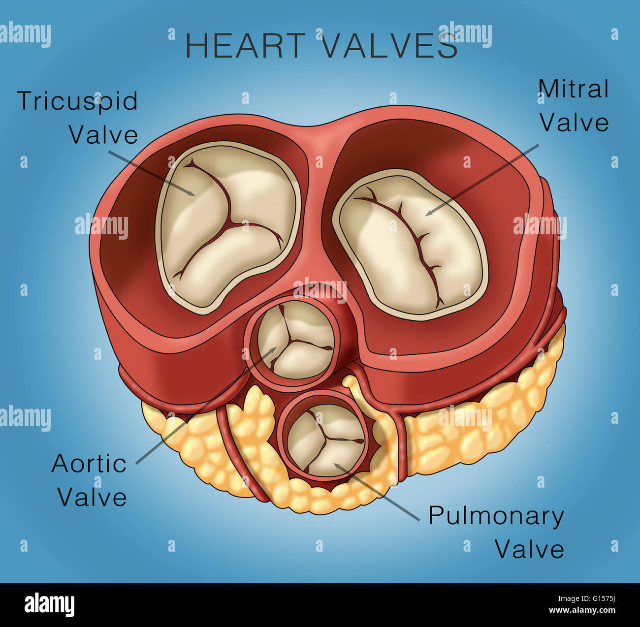 Mitral Stockfotos & Mitral Bilder - Alamy