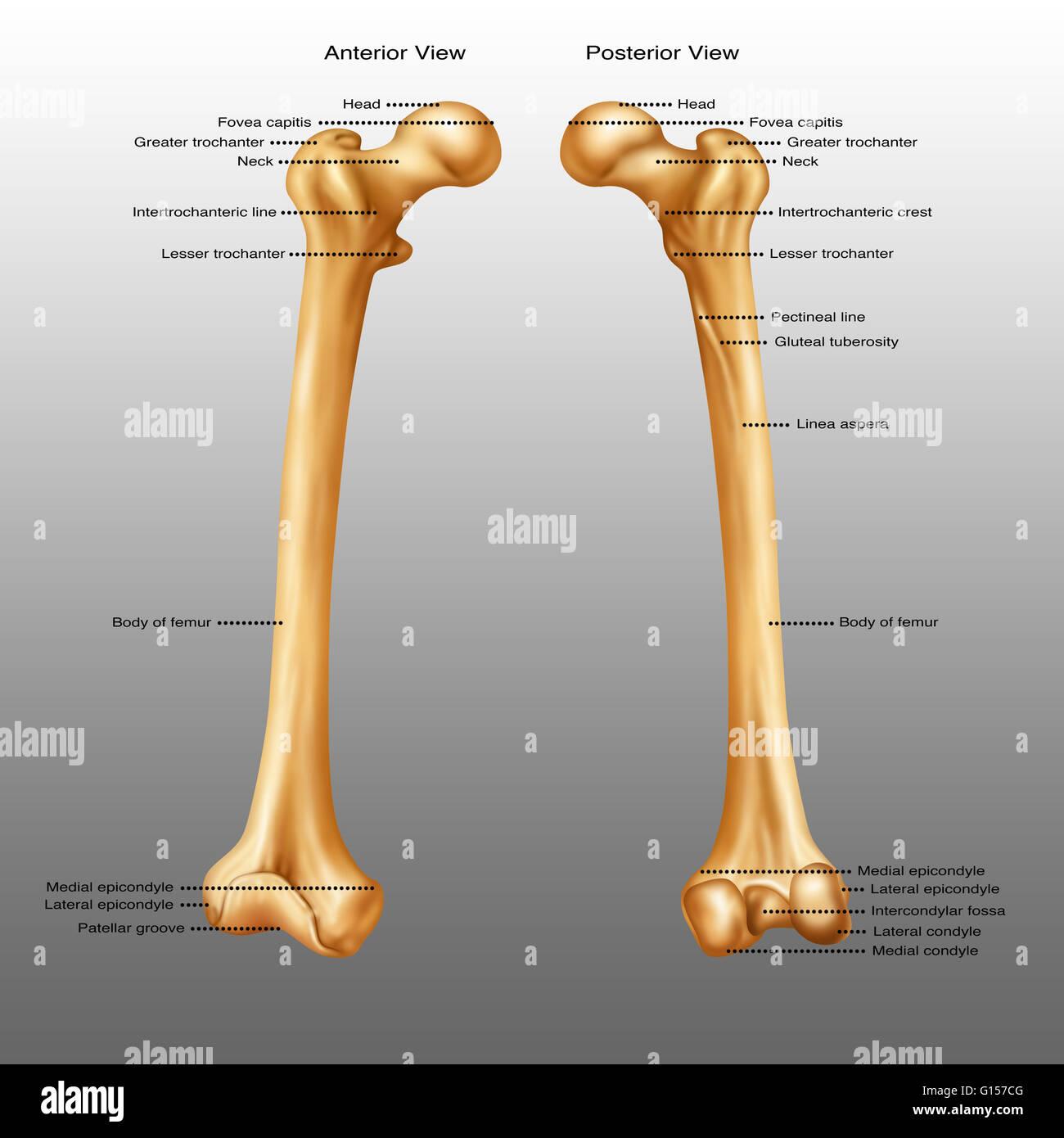 Vordere und hintere Ansicht ein Oberschenkelknochen Stockfoto, Bild ...
