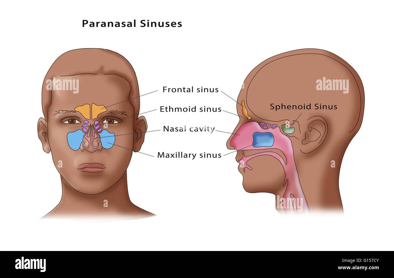 Frontal Sinuses Stockfotos & Frontal Sinuses Bilder - Alamy