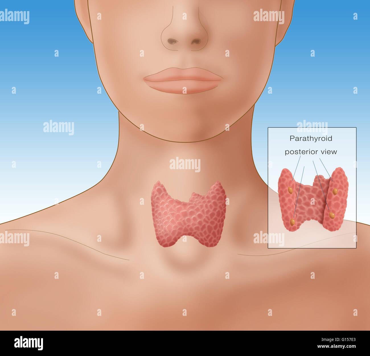 Abbildung zeigt die Lage der Schilddrüse in eine weibliche Figur ...
