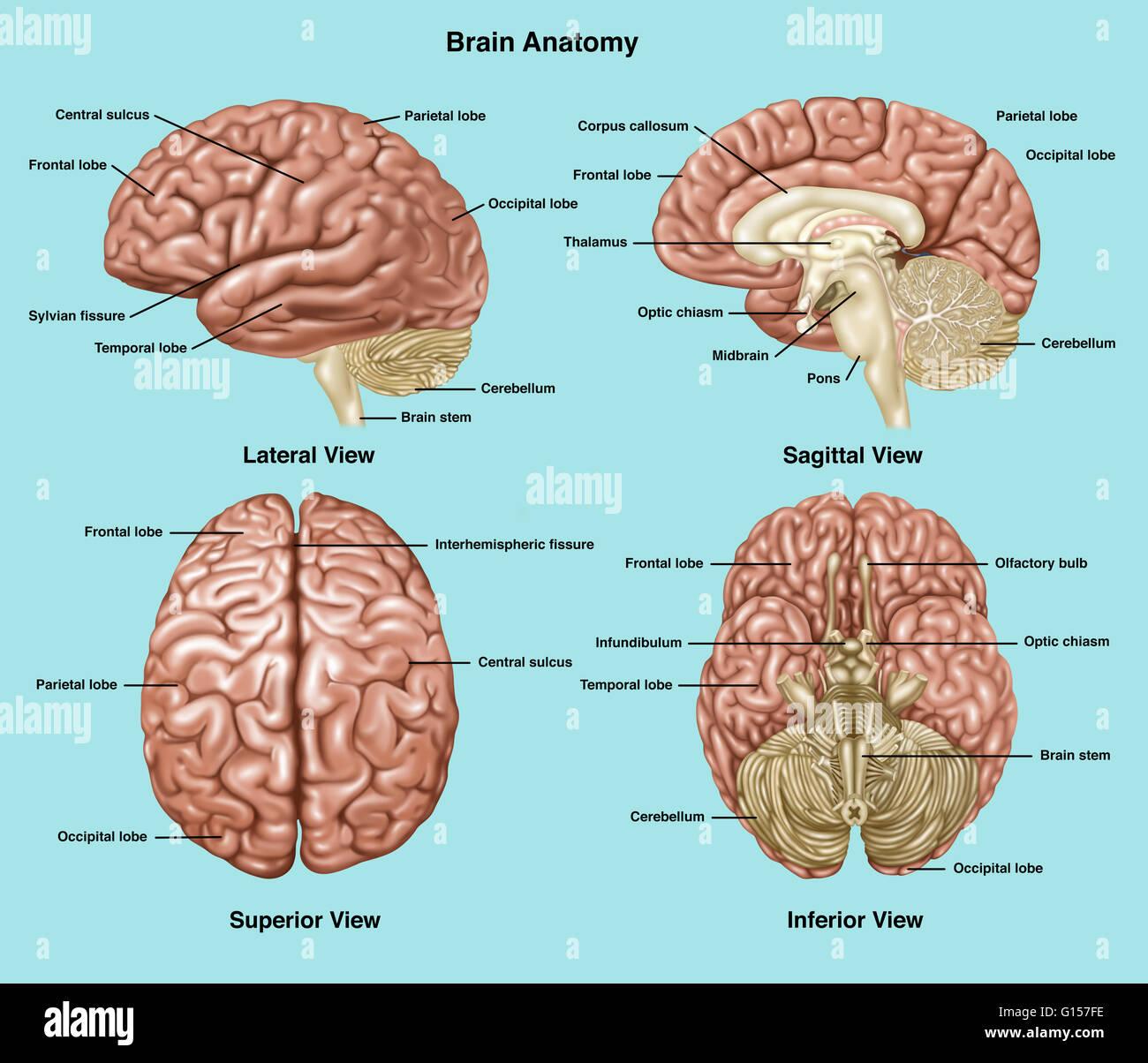 Darstellung, die Anatomie eines normalen Gehirns in seitlichen ...