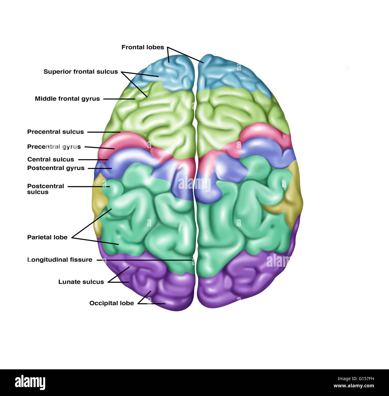 Darstellung, die Anatomie eines normalen Gehirns in eine überlegene ...