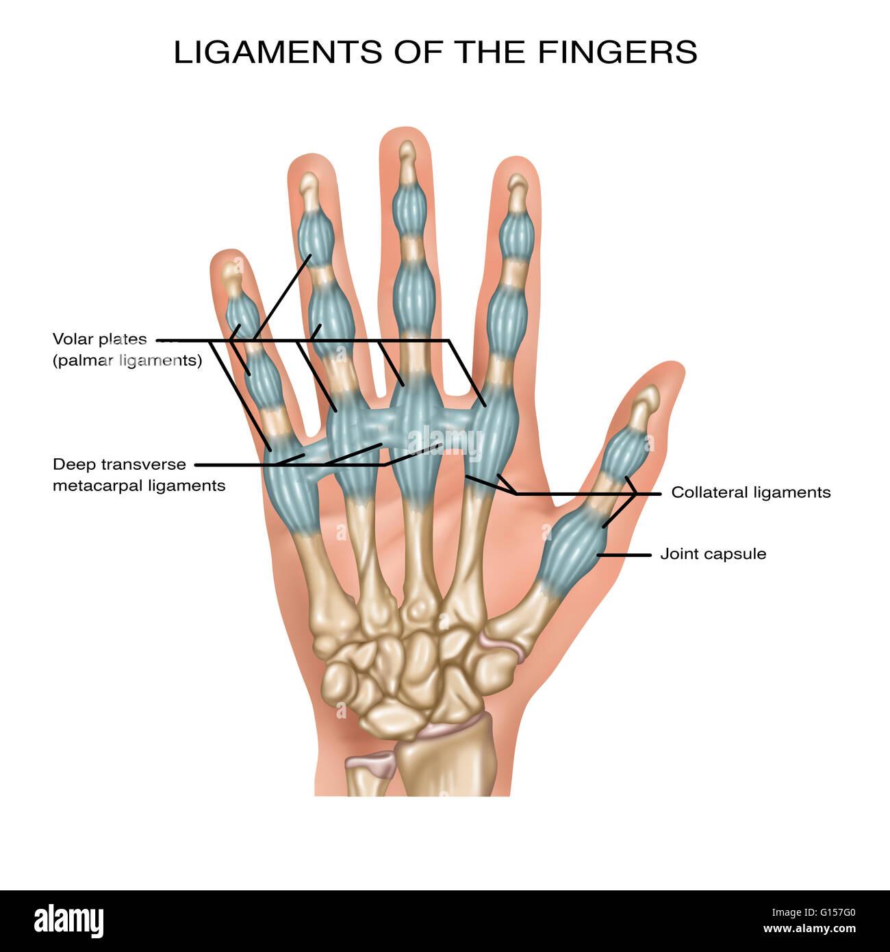 Darstellung, die Bänder der Finger. Festgestellt, sind die volar ...