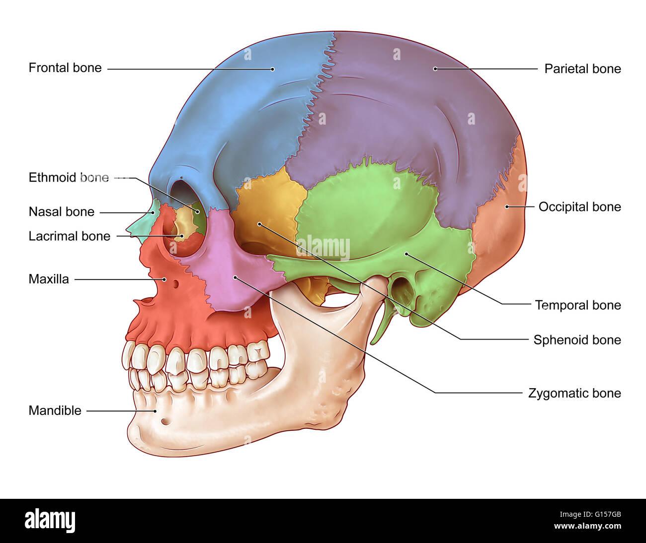 Ethmoid Bone Stockfotos & Ethmoid Bone Bilder - Alamy
