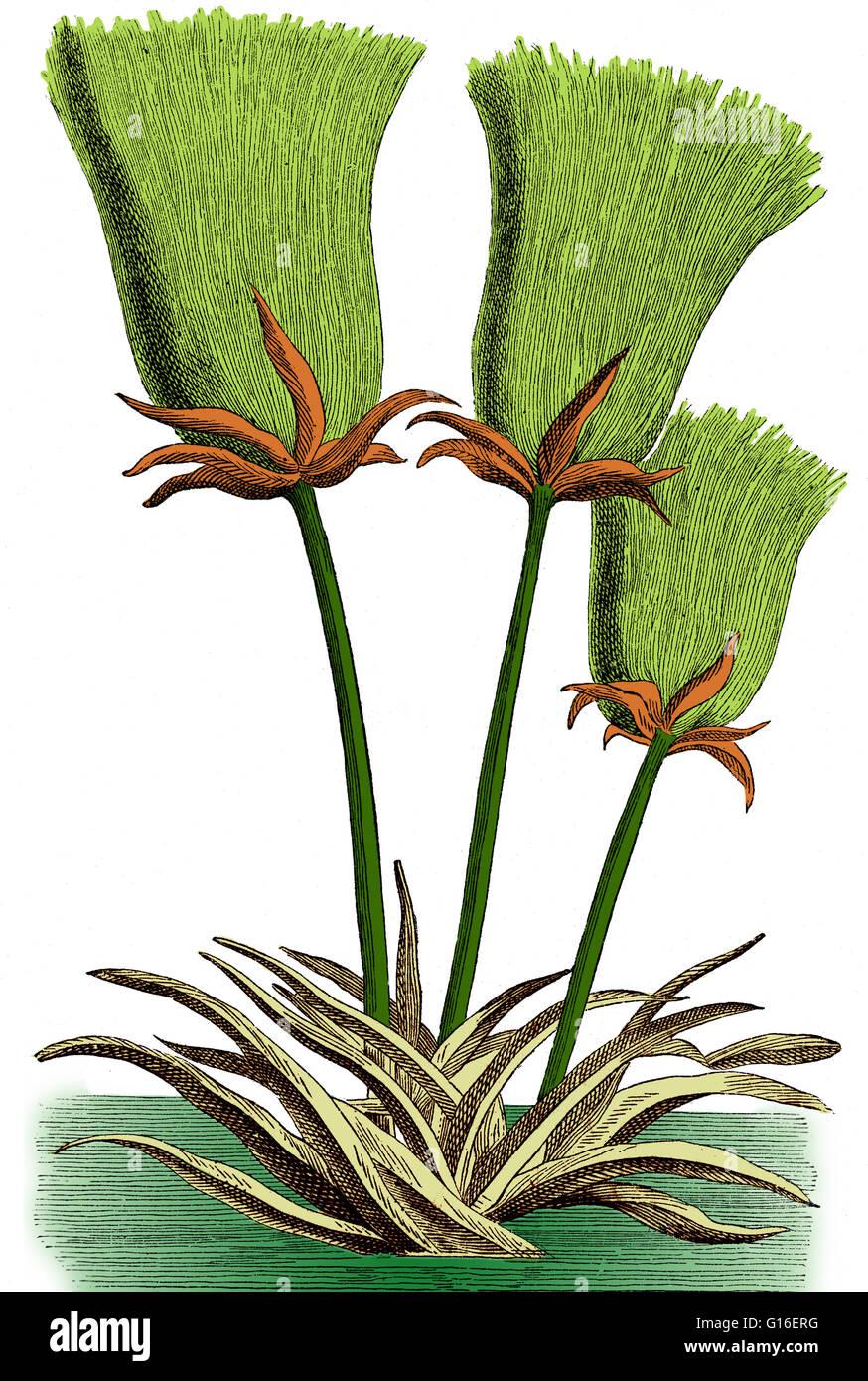 eingef rbte darstellung einer cyperus papyrus pflanze cyperus papyrus ist ein feuchtgebiet
